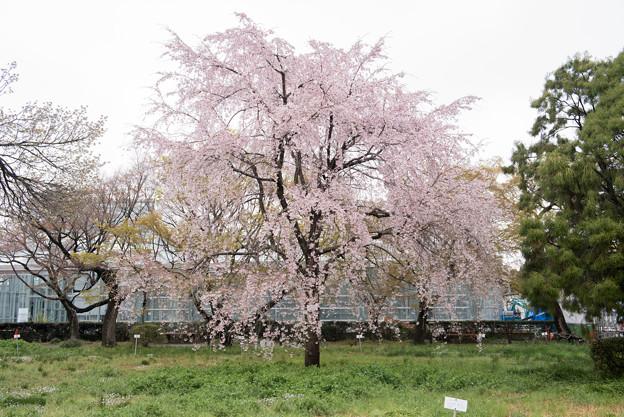 小石川植物園【染井吉野の林】07