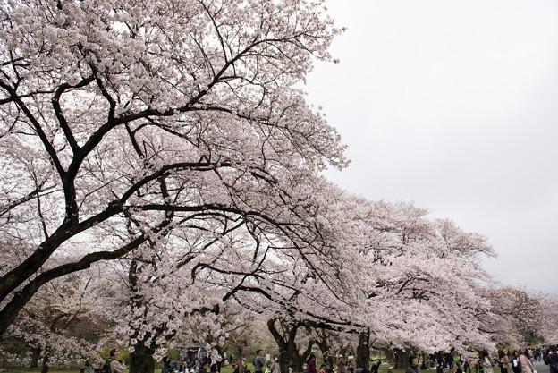 小石川植物園【染井吉野の林】09