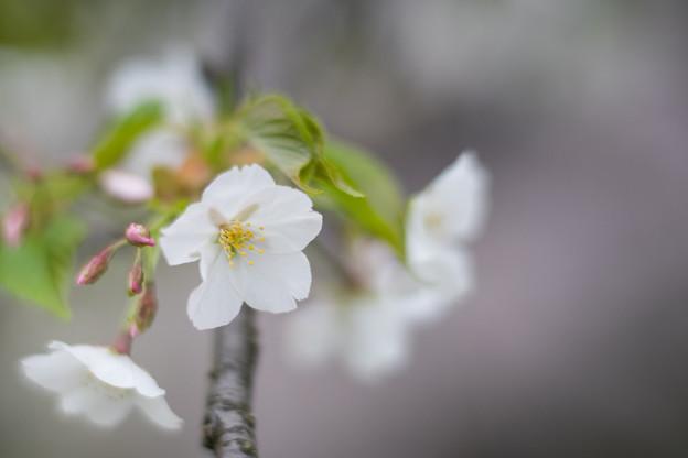 小石川植物園【サクラのアップ:85 mm】01