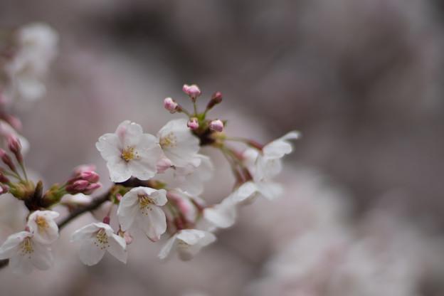 小石川植物園【サクラのアップ:85 mm】04