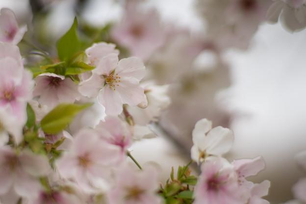 小石川植物園【サクラのアップ:85 mm】06