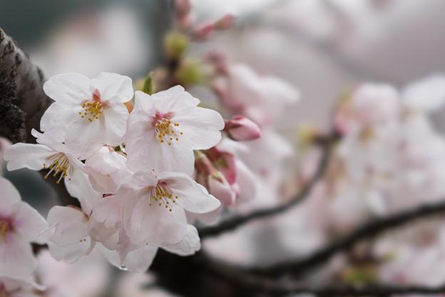 小石川植物園【サクラのアップ:100 mm】03