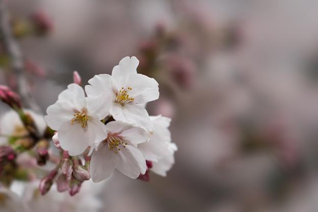小石川植物園【サクラのアップ:100 mm】05