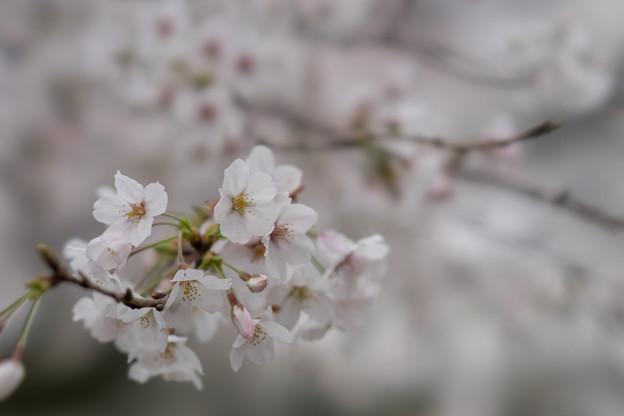小石川植物園【サクラのアップ:100 mm】06