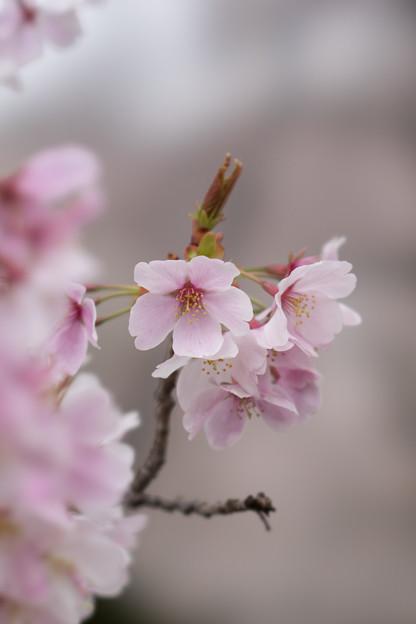 小石川植物園【サクラのアップ:100 mm】07