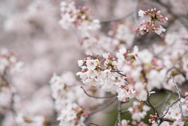 小石川植物園【サクラのアップ:135 mm】01