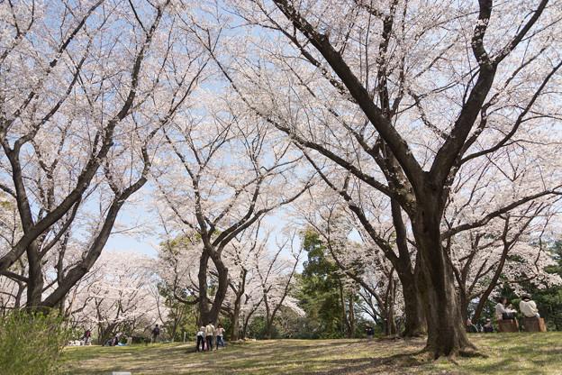 昭和記念公園【さくら橋近くの桜林の眺め】01