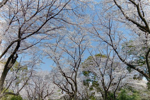 昭和記念公園【桜の園の眺め】銀塩1