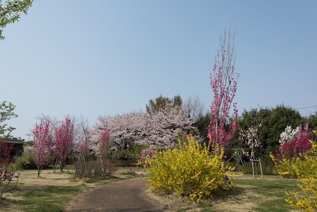花菜ガーデン【春告げの小道:ハナモモ】3