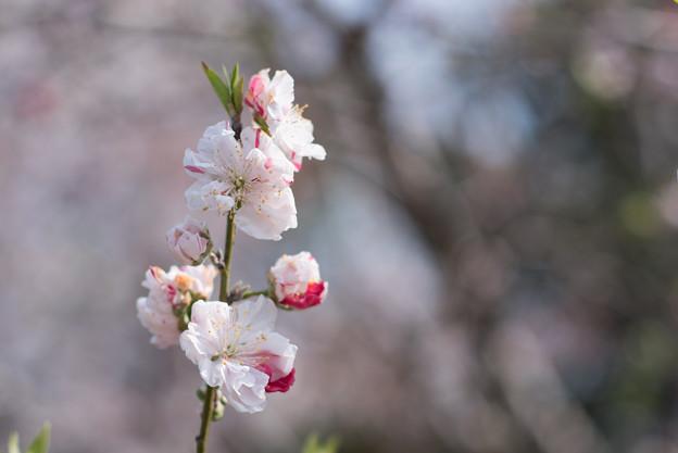 花菜ガーデン【ハナモモ:源平】3