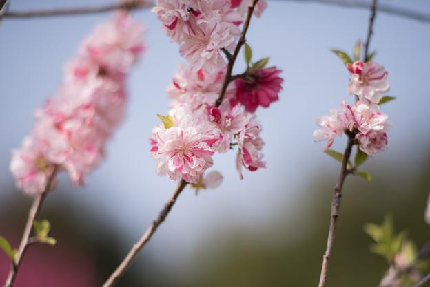 花菜ガーデン【ハナモモ:源平】4