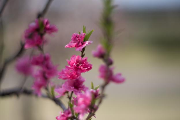 花菜ガーデン【ハナモモ:照手桃】2