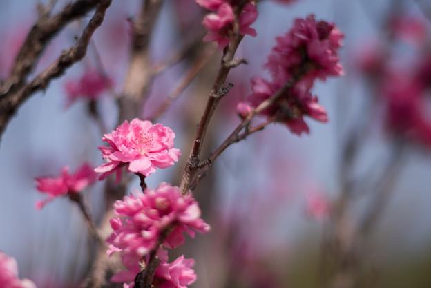 花菜ガーデン【ハナモモ:照手桃】3