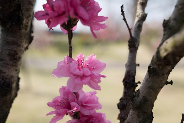 花菜ガーデン【ハナモモ:照手桃】4