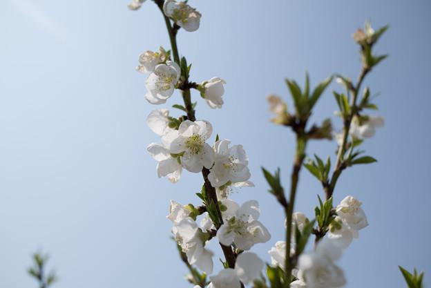 花菜ガーデン【ハナモモ:白八重】2