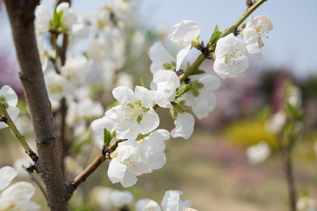 花菜ガーデン【ハナモモ:白八重】4