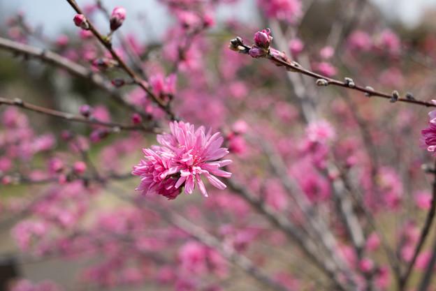 花菜ガーデン【ハナモモ:レッドドワープ】2