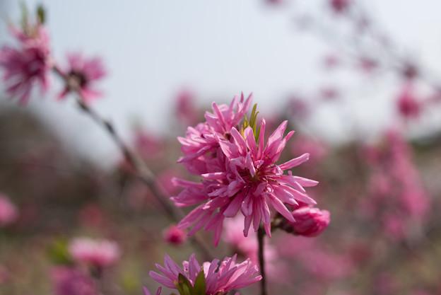 花菜ガーデン【ハナモモ:レッドドワープ】4