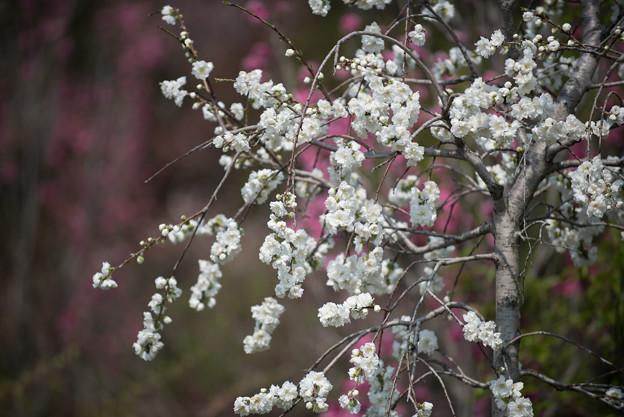 花菜ガーデン【ハナモモ:雲竜枝垂】1