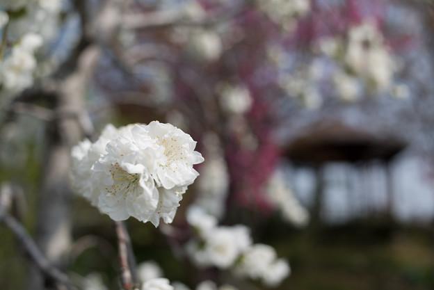 花菜ガーデン【ハナモモ:雲竜枝垂】5