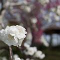 Photos: 花菜ガーデン【ハナモモ:雲竜枝垂】5