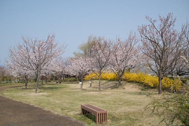 花菜ガーデン【染井吉野とレンギョウ】1