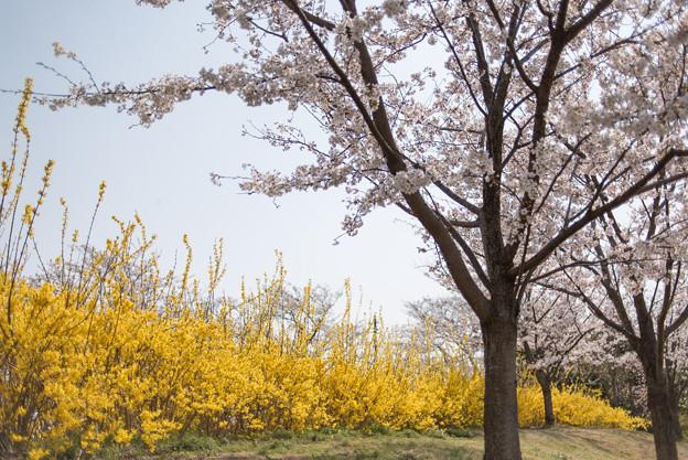 花菜ガーデン【染井吉野とレンギョウ】4