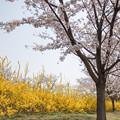 Photos: 花菜ガーデン【染井吉野とレンギョウ】4