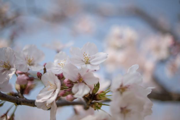 花菜ガーデン【染井吉野】4