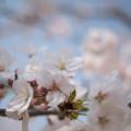 Photos: 花菜ガーデン【染井吉野】4