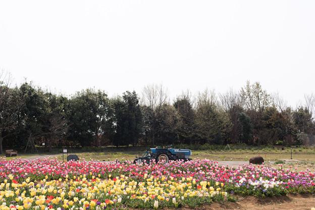 花菜ガーデン【チューリップ園の眺め】4