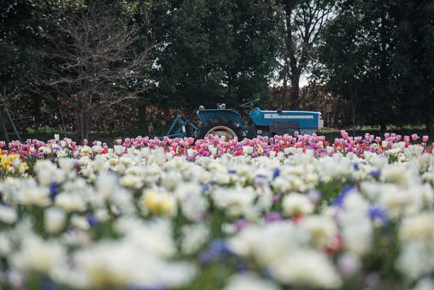 花菜ガーデン【チューリップ園の眺め】6