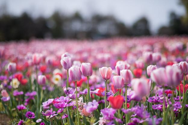 花菜ガーデン【チューリップ:赤系】1