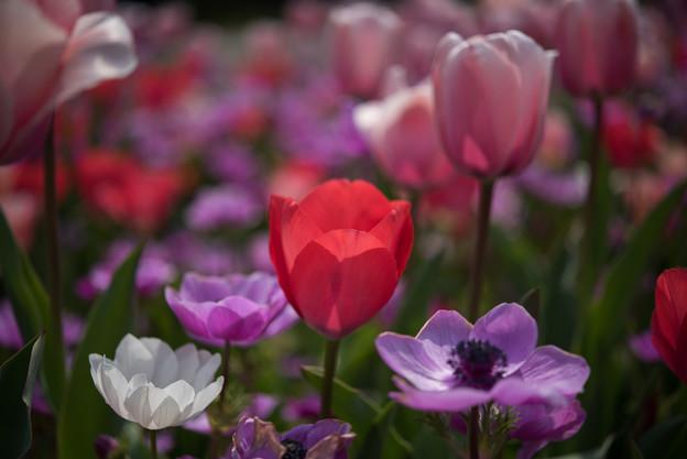 花菜ガーデン【チューリップ:赤系】6