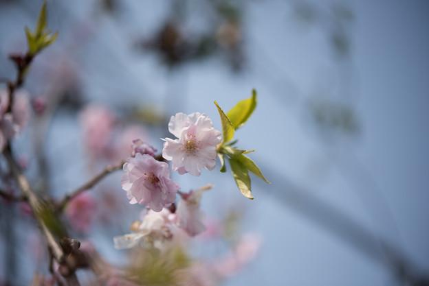 花菜ガーデン【しだれ桜】3