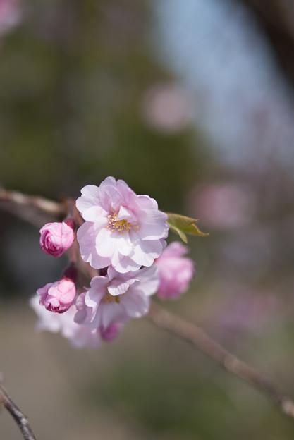 花菜ガーデン【しだれ桜】5