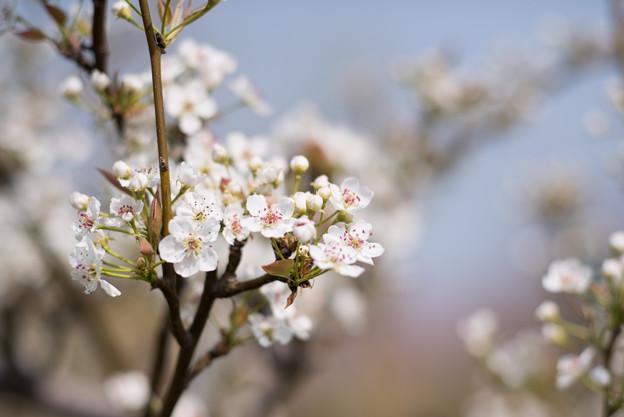 花菜ガーデン【梨の花:新高】1