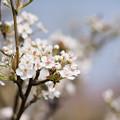 Photos: 花菜ガーデン【梨の花:新高】1