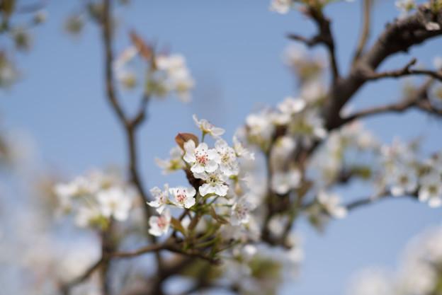花菜ガーデン【梨の花:新高】2