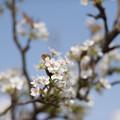Photos: 花菜ガーデン【梨の花:新高】2