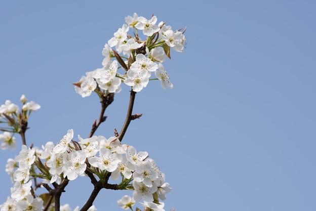 花菜ガーデン【梨の花:新高】3