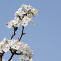 Photos: 花菜ガーデン【梨の花:新高】3