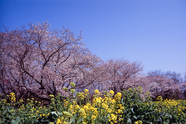昭和記念公園【桜の園の眺め】銀塩ポジ_2