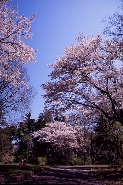 昭和記念公園【さくら橋近くの桜林の眺め】銀塩ポジ_1