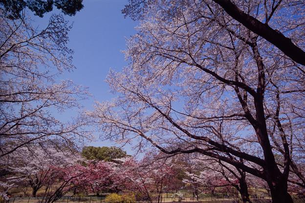 昭和記念公園【さくら橋近くの桜林の眺め】銀塩ポジ_3