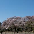 Photos: 神代植物公園【さくら園の眺め】3