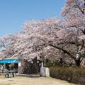 神代植物公園【さくら園の眺め】4