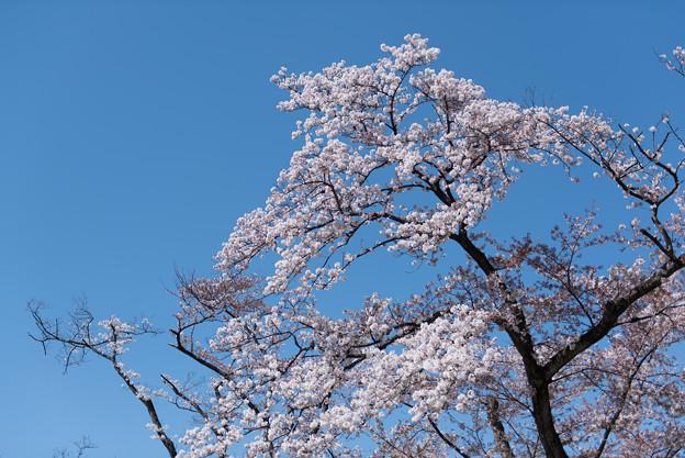 神代植物公園【さくら園の眺め】6