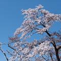 Photos: 神代植物公園【さくら園の眺め】6