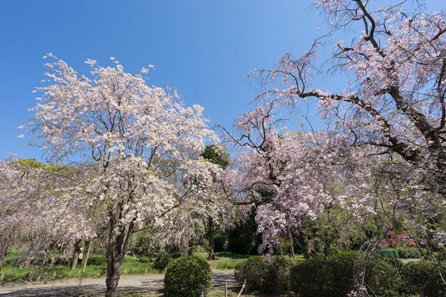 神代植物公園【八重紅枝垂桜】1-4